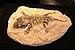 Seymouria Fossil.jpg