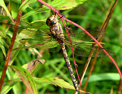 Shadow Darner, female.jpg