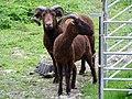 Sheep (33685340724).jpg