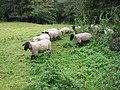 Sheep emerging from the undergrowth - geograph.org.uk - 571735.jpg