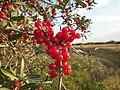 Shepherdia argentea — Matt Lavin 007.jpg