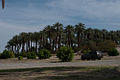 Shields Date Palm Garden (5543859843).jpg