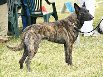 Dutch Shepherd - Image: Short haired Dutch Shepherd 2