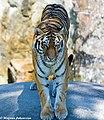 Siberian Tiger (14663545808).jpg