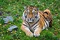 Siberian Tiger (26962499699).jpg