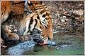 Siberian tiger (5461831886).jpg