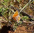 Small Copper. Lycaena phlaeas - Flickr - gailhampshire (4).jpg