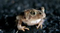 Small toad in the road (6010428991).png