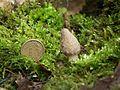 Smardz stożkowaty (Morchella conica) 2.jpg