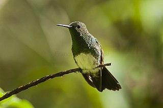 Snowy-bellied hummingbird species of bird
