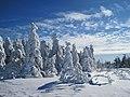 Snowy Spruce (37533930).jpeg