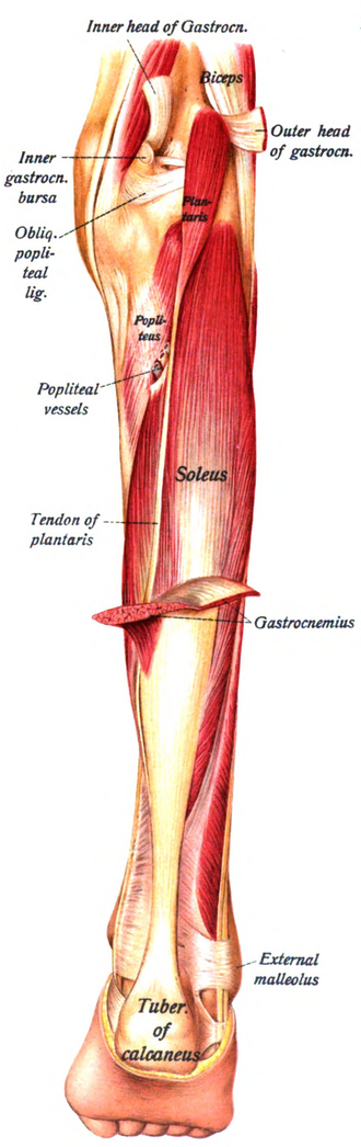 Plantaris muscle - The plantaris is visible under the gastrocnemius.