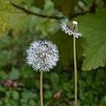 Soffioni - Tarassaco (Taraxacum officinale) (8083205279).jpg