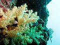 Soft Coral 4 (5649002088).jpg