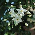 Solanum laxum 'Alba'-IMG 0407.jpg