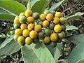 Solanum mauritianum - Wild tobacco tree - at Ooty 2014.jpg