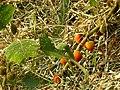 Solanum quitoense (plant and fruits) in Costa Rica.jpg