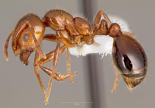 Solenopsis invicta casent0005804 profile 1