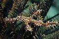 Solenostomus paradoxus, Sabah.jpg