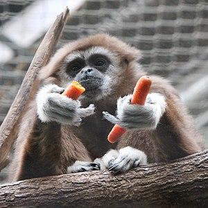 Lar gibbon - A lar gibbon eating carrots