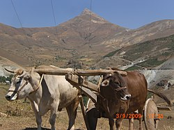 Son baharda öküz arabası musatanışman köyü - panoramio.jpg