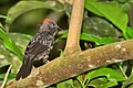 Sooty Ant-Tanager.jpg