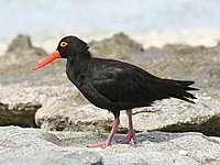 Sooty oystercatcher standing on rocks