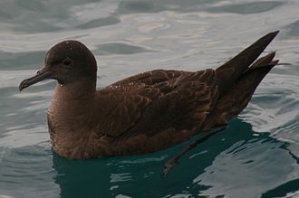 Sooty shearwater - Up close, the chocolate-coloured plumage can be appreciated.