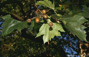 Elsbeere (Sorbus torminalis) mit tief gelappten Blättern und apfelförmigen, kleinen Früchten