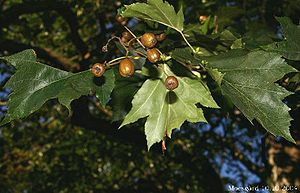 Service tree (Sorbus torminalis) with deeply lobed leaves and apple-shaped, small fruits