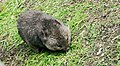 Southern hairy-nosed wombat Lasiorhinus latifrons D1020066.jpg
