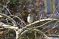 Sparrow (6860653906).jpg