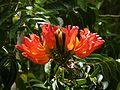 Spathodea campanulata blossoms - Adjuntas Puerto Rico.jpg