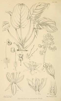 Spatholirion ornatum JournalofBotany 1896 vol34.jpg
