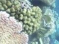 File:Spawning Pocillopora meandrina - pone.0050847.s002.ogv