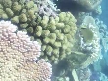 File:Spawning Pocillopora meandrina - pone.0050847.s002.ogv