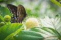 Spicebrush Swallowtail (Papilio troilus) (20427119392).jpg