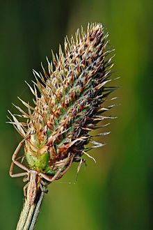 Spider on ribwort plant.jpg