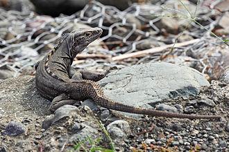 Ctenosaura - Ctenosaura similis, Costa Rica