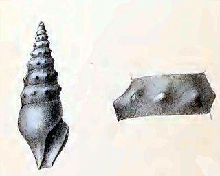<i>Spirotropis lithocolleta</i> species of mollusc