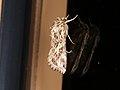 Spodoptera litura (41101888471).jpg