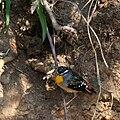 Spotted Pardalote (Pardalotus punctatus) - male and burrow, Bendigo, Victoria, Australia.jpg