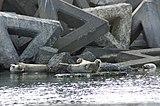 抜海港のゴマフアザラシ