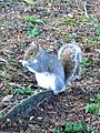 Squirrel, Fisherman's Walk - geograph.org.uk - 1632726.jpg