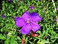 Sri Lankan Purple flower.jpg