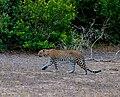Srilankan leopard (srilankan kotiya) 02.jpg