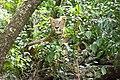Srilankan leopard in Wilpattu.jpg