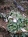 Stachys corsica02.jpg
