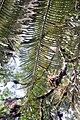 Stangeria eriopus 4zz.jpg