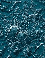 Bakterien staphylococcus aureus set gennem et elektronmikroskop